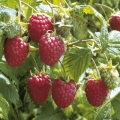 Raspberry 'Malling Jewel' (pack of 6 canes)